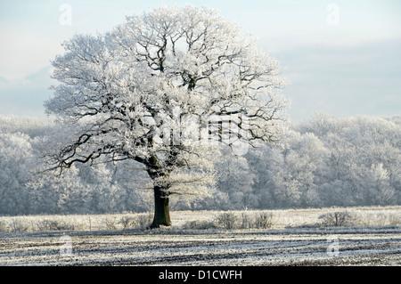 Inverno tempo campagna boschi alberi in terreno agricolo campo paesaggio con Brina di primo mattino su un ottimo esemplare di quercia inglese Essex Inghilterra Regno Unito Foto Stock