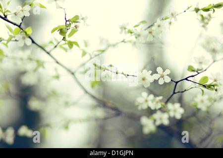 Una chiusura della fioritura dei ciliegi in fiore in primavera Foto Stock