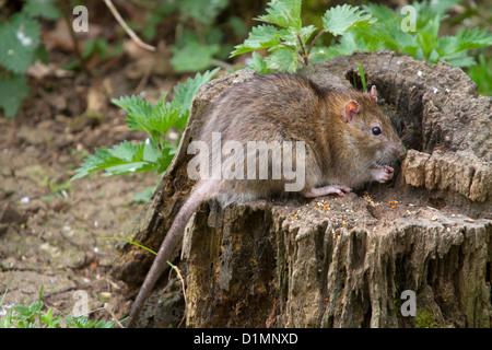 Marrone - ratto rattus norvegicus - nel Warwickshire, Inghilterra, Regno Unito Foto Stock