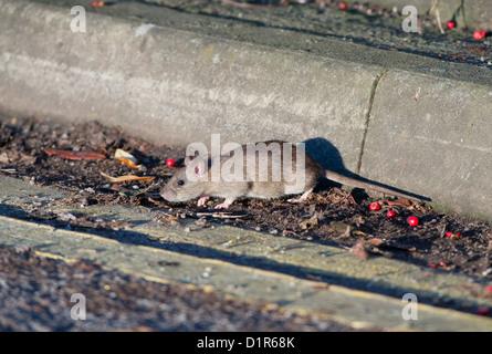 BROWN RAT Rattus norvegicus in cerca di cibo. Regno Unito Foto Stock