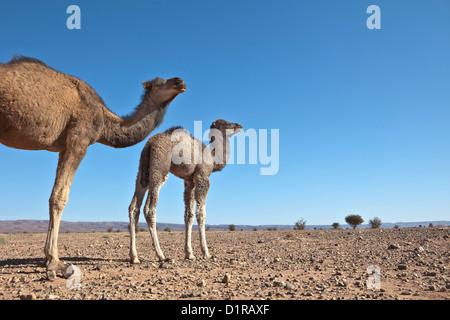 Il Marocco, Tamegroute, vicino a Zagora, cammello madre e giovani.