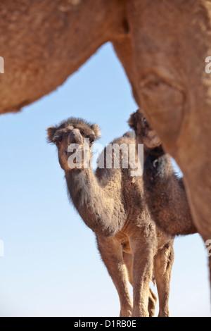 Il Marocco, Tamegroute, vicino a Zagora, Baby cammelli.