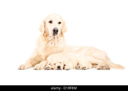 Una madre retriever col suo bambino cane in posa isolata contro uno sfondo bianco Foto Stock