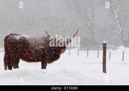 Un scozzese Highland mucca in un pascolo durante una tempesta di neve. Foto Stock