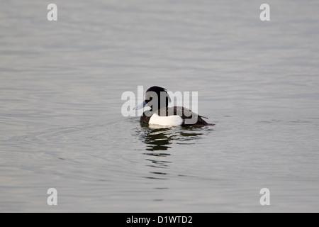 Moretta Aythya fuligula con goccioline di acqua sul suo piumaggio dopo la rifinitura in un lago Foto Stock