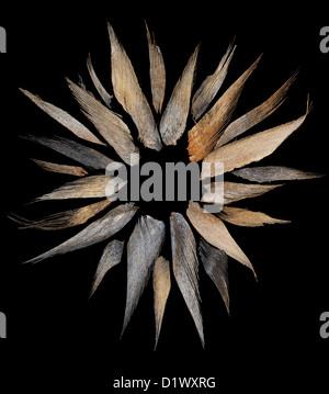 Frammenti di indiani di palme da cocco di corteccia di albero lolla su sfondo nero in sun o forma di fiore Foto Stock