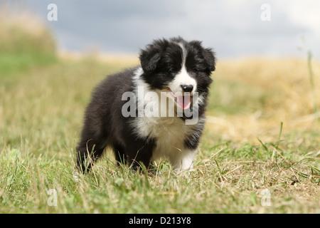 Cane Border Collie cucciolo bianco e nero in piedi in un prato Foto Stock