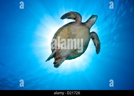 Tartaruga Verde Chelonia Mydas nuoto su una scogliera di corallo, Coral Sea, della Grande Barriera Corallina, Oceano Foto Stock