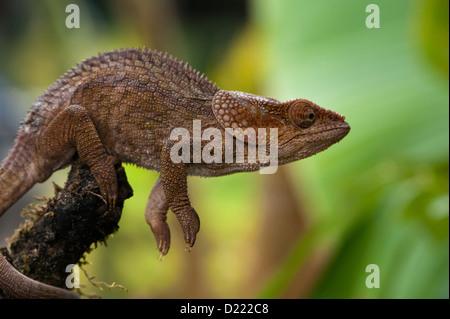 Chameleon seduta sul ramo pronto al grande salto Foto Stock
