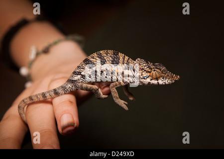 Madagascar, Funzionamento Wallacea studente con Chameleon Furcifer Angeli sulla mano del ricercatore Foto Stock