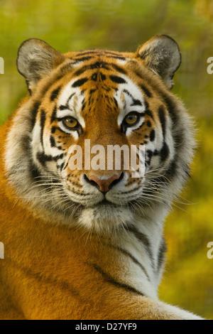 Siberian/tigre di Amur (Panthera Tigris Altaica) di appoggio Foto Stock