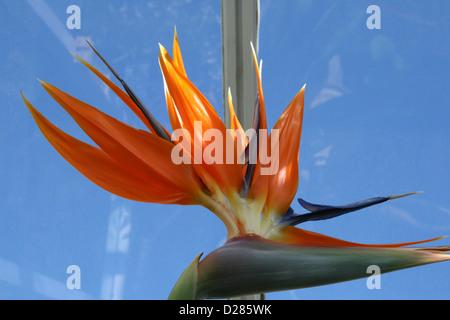 """Strelizia reginae """"uccello del paradiso"""" in fiore in Inghilterra Foto Stock"""