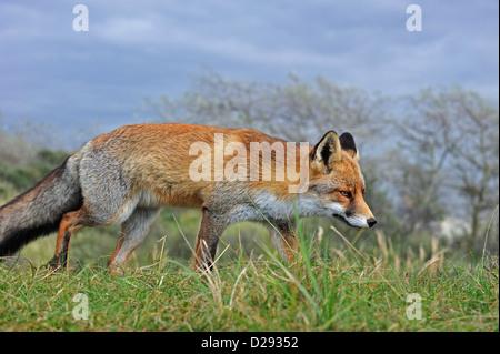 Red Fox (Vulpes vulpes vulpes) stalking preda seguendo il sentiero di profumo in prati Foto Stock