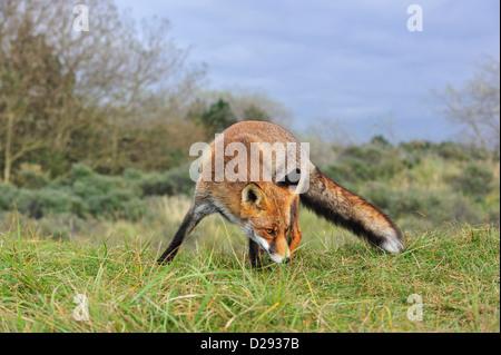 Red Fox (Vulpes vulpes vulpes) sniffing al profumo territoriale mark nella prateria a bordo della foresta Foto Stock