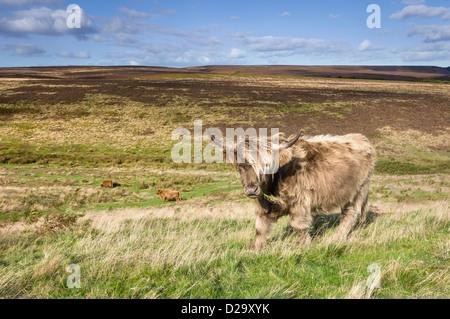 Highland scozzesi il pascolo di bestiame su open moorland vicino al villaggio di Levisham nel North York Moors, Foto Stock