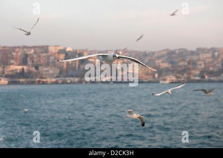 Vista del gabbiano I gabbiani sorvolano il lo stretto del Bosforo mar di Marmara con panorama del litorale Istanbul Foto Stock