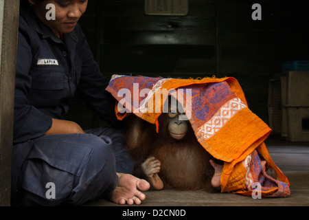 (Orangutan Pongo pygmaeus) infantile giocando con un asciugamano Orangutan Centro di cura, Borneo, Indonesia Foto Stock