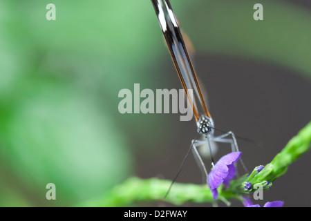 Un glasswing butterfly con le sue ali fino, Greta Oto Foto Stock