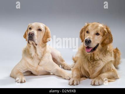 Ritratto di un Golden Retriever e giallo Labrador Retriever sdraiato. I giovani cani guida in formazione. Foto Stock
