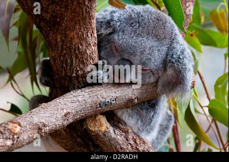 Koala (Phascolarctos cinereus) nel santuario di Townsville, Queensland, Australia Pacific Foto Stock