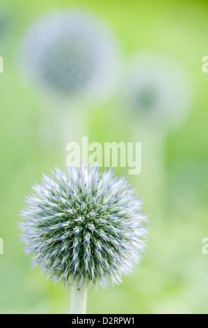"Echinops bannaticus "" Taplow Blue', Globe thistle, blu oggetto. Foto Stock"