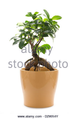 Ficus ginseng in ceramica pentola isolati su sfondo bianco Foto Stock