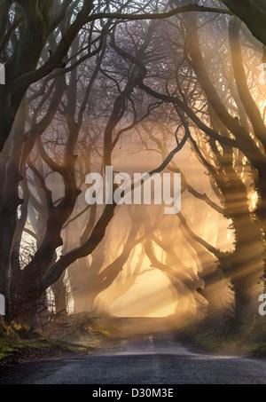 La luce del mattino illumina la struttura avenue è noto come il buio siepi in Irlanda del Nord. Foto Stock