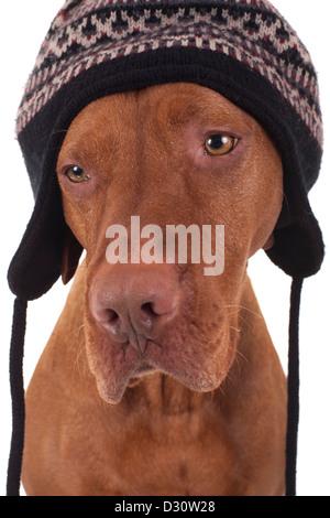 ... sulla neve  Di pura razza di cane da caccia che indossa un cappello  invernale che copre le orecchie 345e10f06964