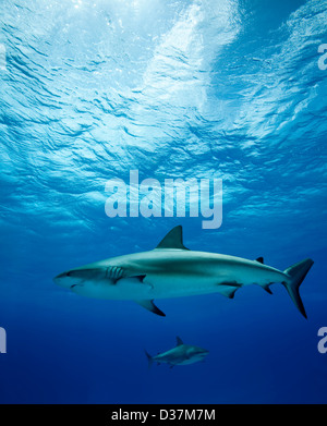 Gli squali nuotare sott'acqua Foto Stock