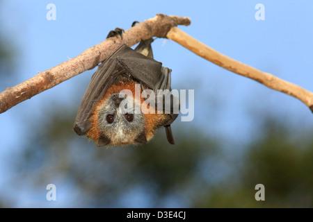 Testa Grigia Flying Fox, Pteropus poliocephalus. Endemico in Australia orientale e sono elencati come vulnerabili Foto Stock