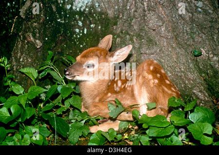 White Tailed Deer Fawn (Odocoileus virginianus) seduta a base di albero nella foresta, Missouri, Stati Uniti d'America Foto Stock