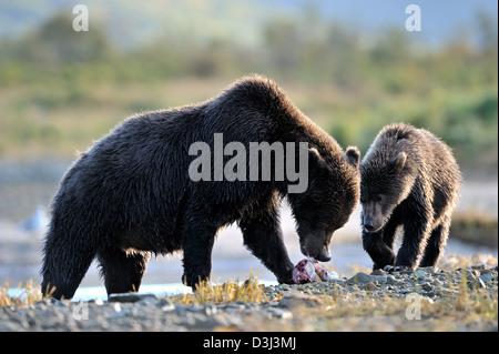 Orso grizzly madre con cub mangiando un salmone pescato. Foto Stock