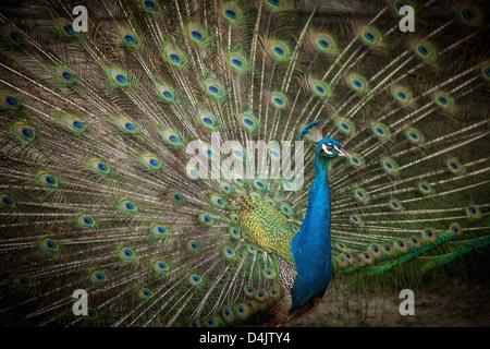 Peacock con piume ventaglio Foto Stock