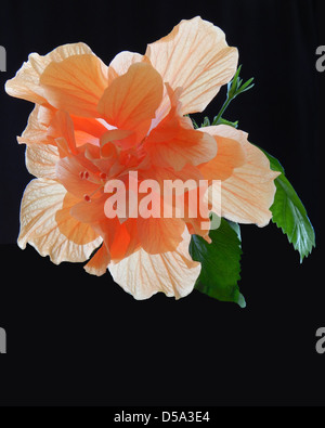 Hibiscus in fiore