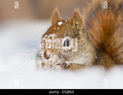Funny North American scoiattolo rosso in inverno Foto Stock