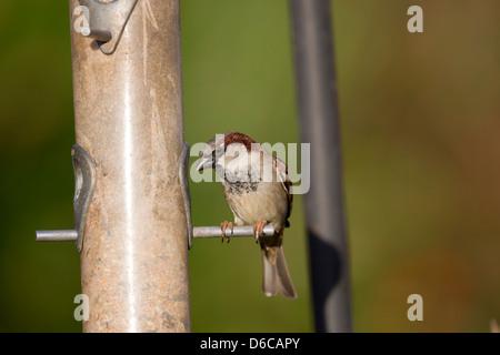Casa passero; Passer domesticus; sulle sementi alimentatore; Regno Unito Foto Stock