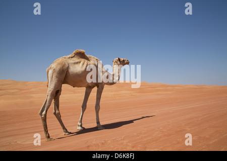 Cammello nel deserto, Wahiba, Oman, Medio Oriente Foto Stock