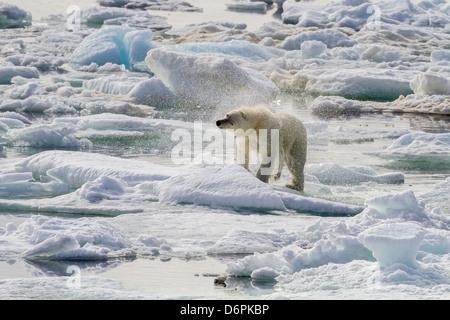 Adulto di orso polare (Ursus maritimus) Essiccazione fuori sul ghiaccio in orso Suono, isola Spitsbergen, Svalbard, Foto Stock