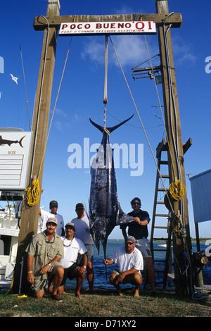 Un Atlantic blue marlin (Makaira nigricans) viene pesato e misurato durante un torneo in porto O'Connor Texas Foto Stock