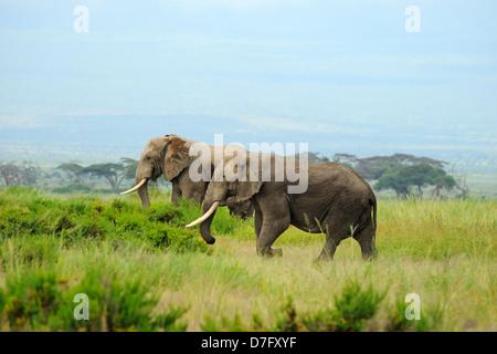 Elefanti in Amboseli National Park, Kenya, Africa orientale Foto Stock