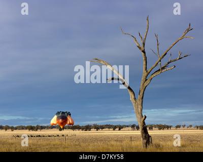 Skywhale, il Canberra centenario pallone vola basso al di sopra di un campo in Western Victoria durante il suo primo volo.