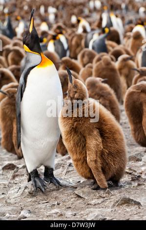 Pinguino reale alimentando un pulcino (Aptenodytes patagonicus), St Andrews Bay, Isola Georgia del Sud Foto Stock