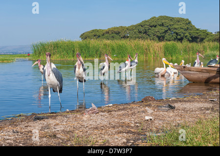 Marabou cicogne (Leptoptilos crumeniferus) e bianco pellicani (Pelecanus onocrotalus), Awasa Harbour, Etiopia Foto Stock