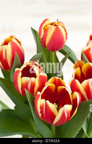 Ritratto di tulipani rossi con bordi gialli contro un usurato lo sfondo di legno. Foto Stock