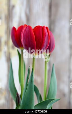 Ritratto di tulipani rossi contro un usurato lo sfondo di legno. Foto Stock