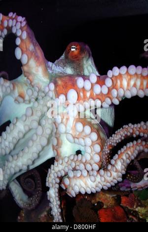 Il polpo, Mar Rosso Foto Stock