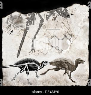 Resti fossili e la ricostruzione dello scheletro di Tianyulong confuciusi. Foto Stock