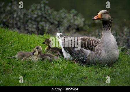 Graylag goose (Anser anser) oche con goslings uccelli giovani pulcini uccelli baby common bird fowl graylag nella Foto Stock