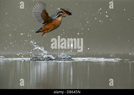 Flying kingfisher emergente dopo un tuffo Foto Stock