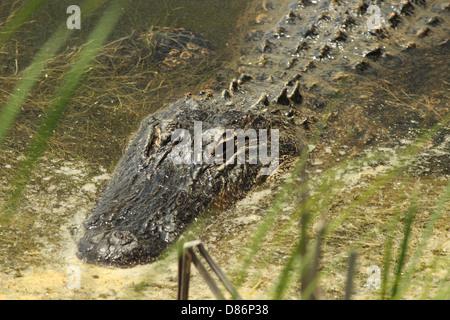 Una chiusura di un coccodrillo americano nuotando lungo in una zona umida costiera in Carolina del Sud, STATI UNITI D'AMERICA Foto Stock